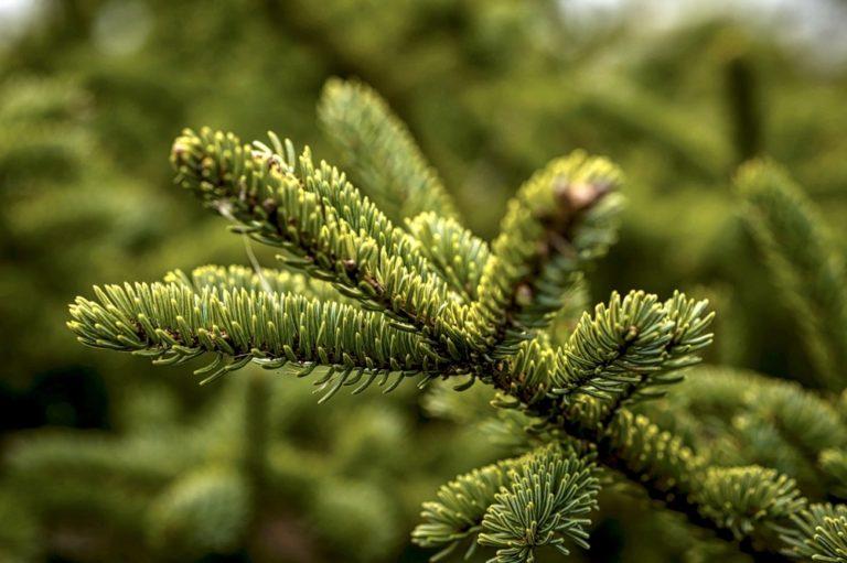 Macro di ramo di pino